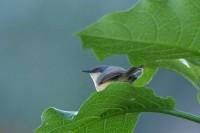 Ashy Prinia, endemic