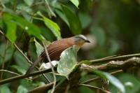 Ashy-headed Laughingthrush, endemic