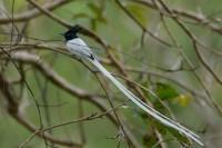 Asian Paradise Flycatcher, endemic
