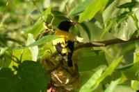 Black-hooded Oriole, endemic