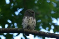 Chestnut-backed Owlet, endemic