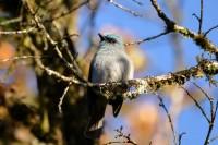 Dull-blue Flycatcher, endemic