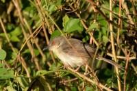 Grey-breasted Prinia, endemic