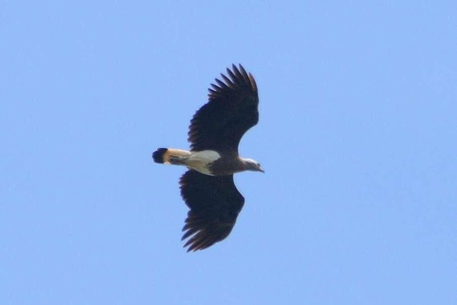 Grey-headed Fish Eagle