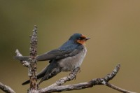 Hill Swallow