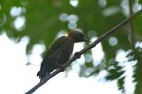 Lesser Yellownape, endemic