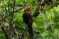Orange-billed Babbler, endemic