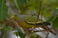 Orange-breasted Green Pigeon, endemic