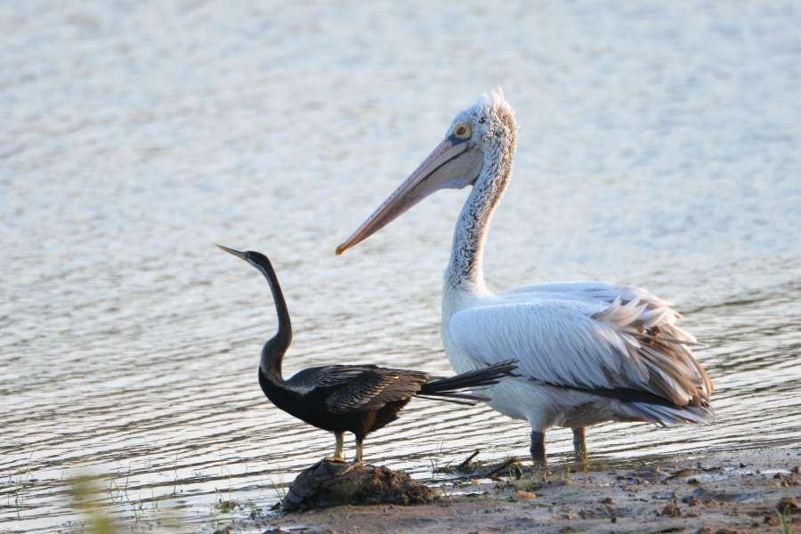 Spot-billed Pelican&Oriental Darter