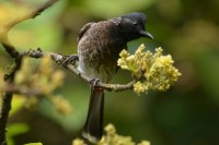Red-vented Bulbul, endemic