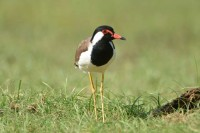 Red-wattled Lapwing