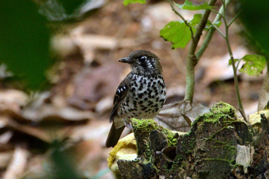 Spot-winged Thrush