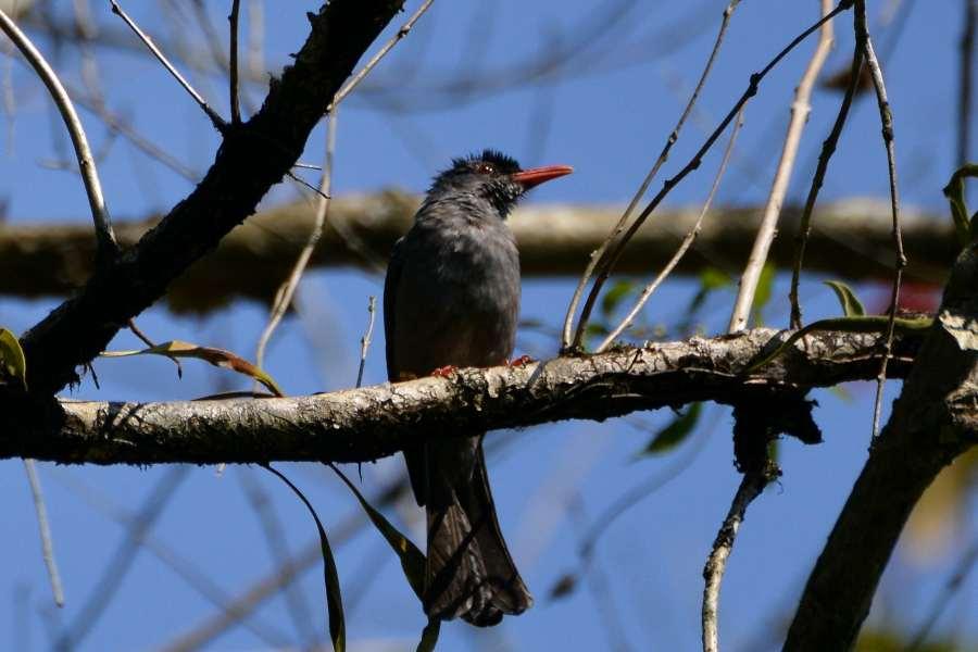 Square-tailed Bulbul, endemic