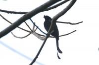 Sri Lanka Drongo, endemic
