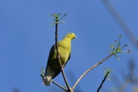 Sri Lanka Green Pigeon, endemic
