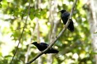 Sri Lanka Hill Myna, endemic