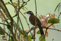 Sri Lanka Scimitar Babbler, endemic