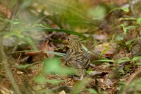 Sri Lanka Thrush, endemic