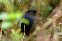 Sri Lanka Whistling Thrush, endemic