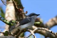 Sri Lanka Woodshrike, endemic