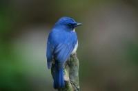Tickell's Blue Flycatcher, endemic