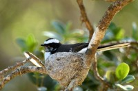 White-browed Fantail