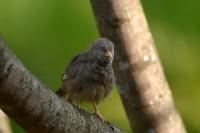 Yellow-billed Babbler, endemic