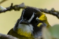 Yellow-eared Bulbul, endemic