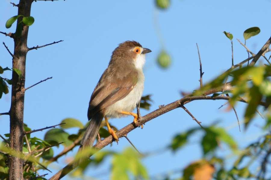 Yellow-eyed Babbler, endemic