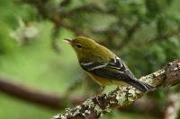 Bay-brested Warbler