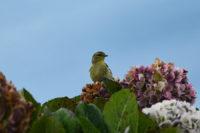 Blacpool Warbler