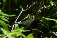 Black-throated Green Warlbler