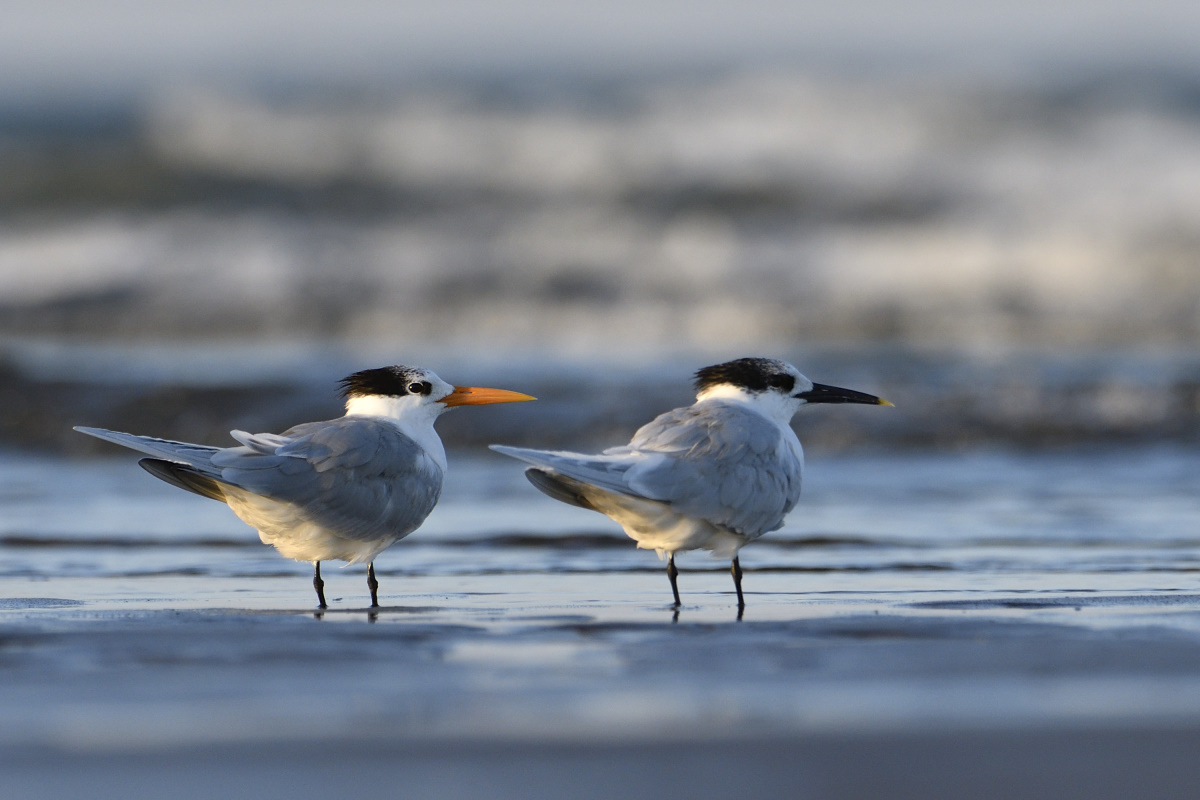 Lesser Crested Tern & Sandwich Tern