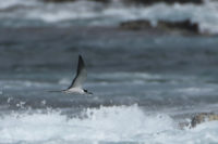Sooty Tern