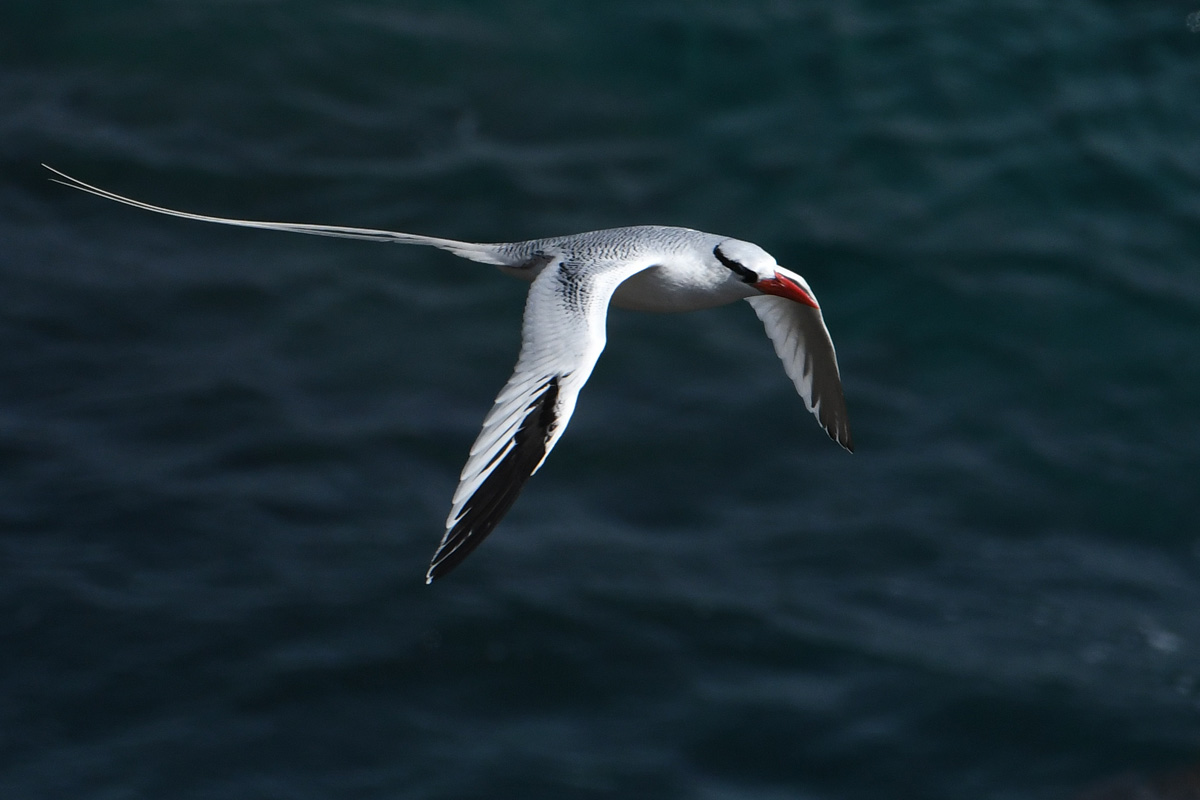 Red-billed Tropicbird